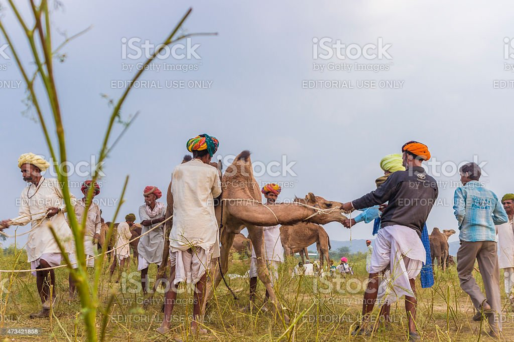 Camel Herders with their livestock stock photo
