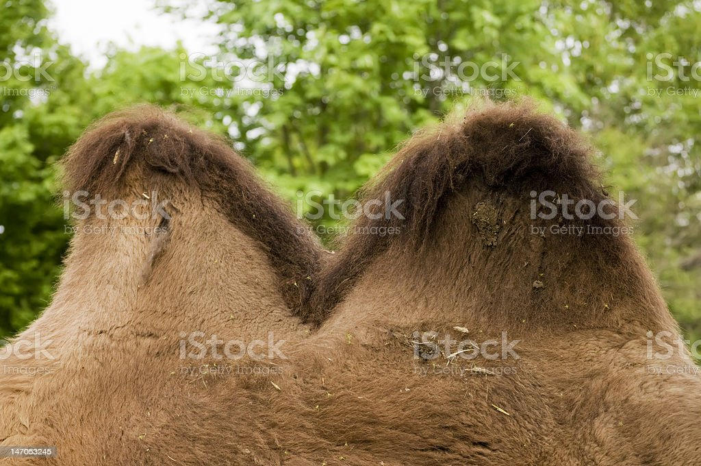 Camel Hump royalty-free stock photo