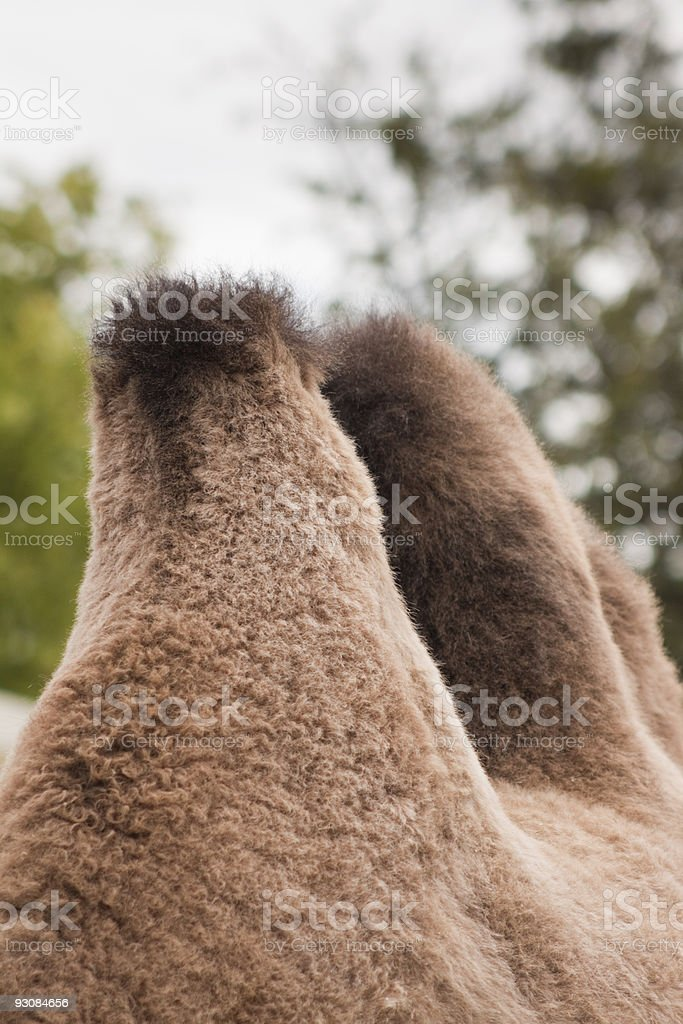 Camel Humps royalty-free stock photo