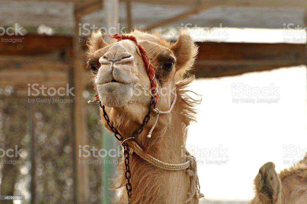 Camel in a desert stock photo
