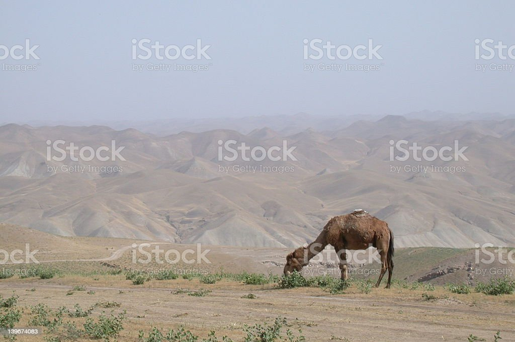 Camel in Afghanistan royalty-free stock photo