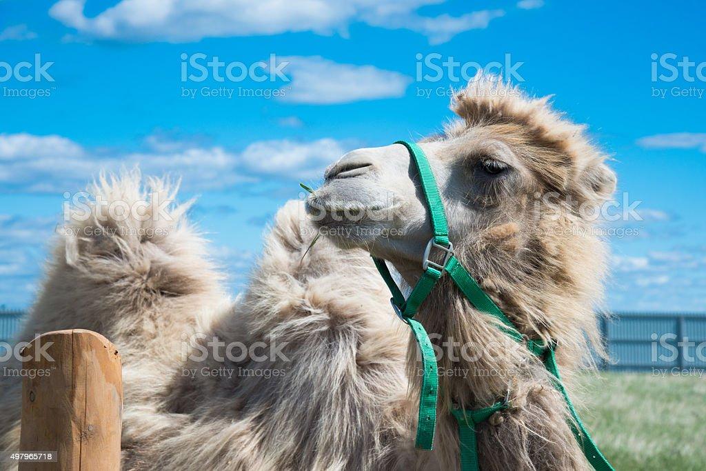 Camel in aviary closeup stock photo