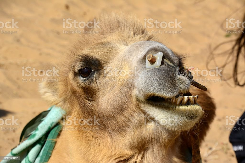 Camel in Badain Jaran desert, Inner Mongolia stock photo