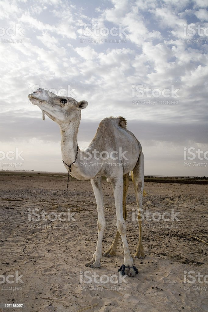 camel in desert royalty-free stock photo