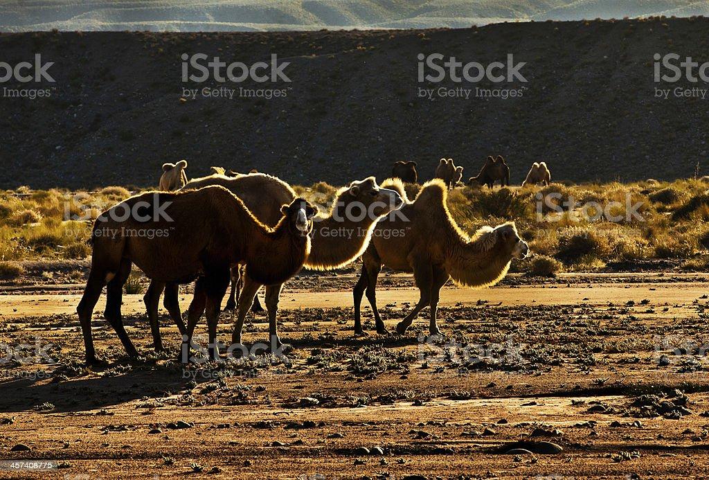 camel in desert royalty-free stock photo