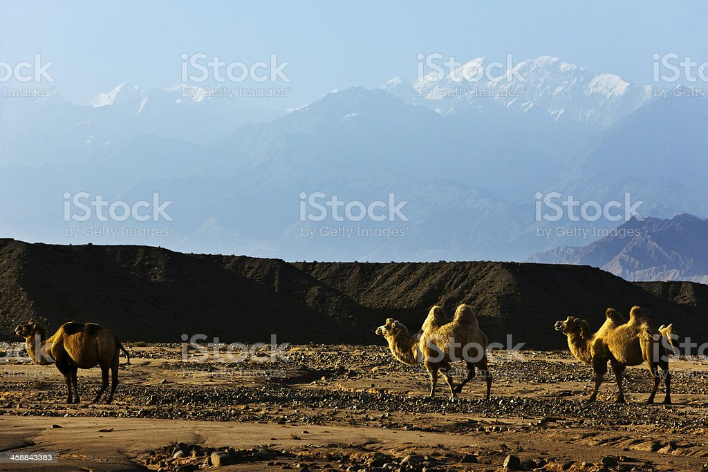 camel in desert with mountains and blue sky royalty-free stock photo