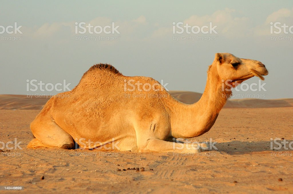 Camel in Dubai Desert royalty-free stock photo
