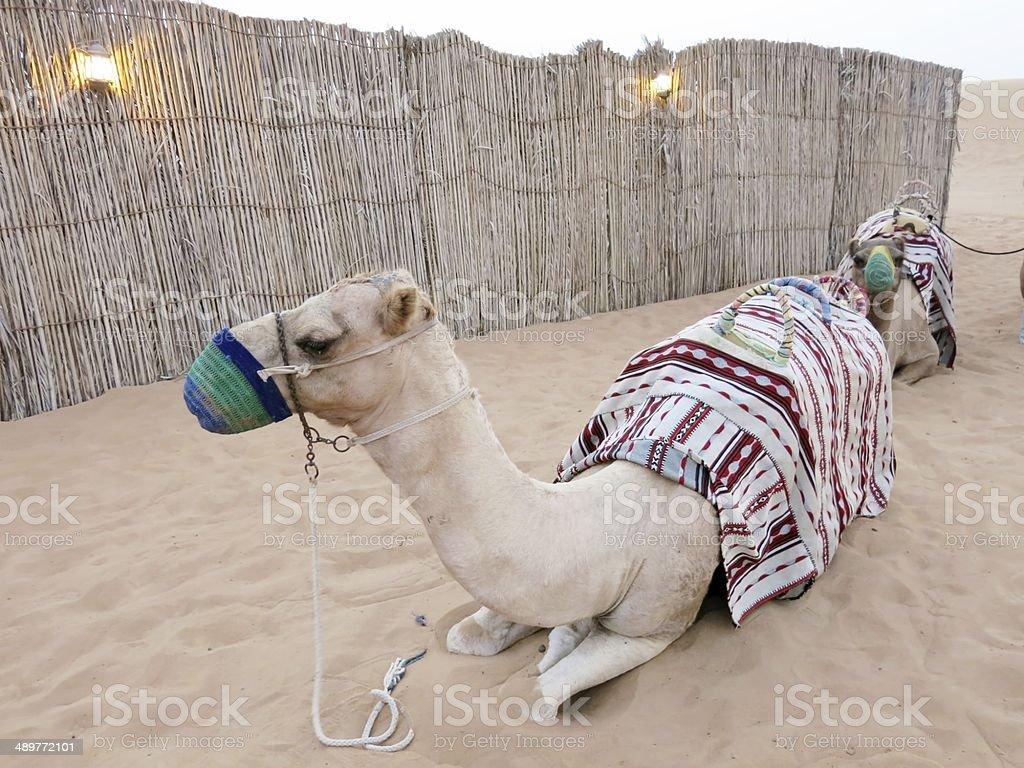 Camel in Dubai stock photo