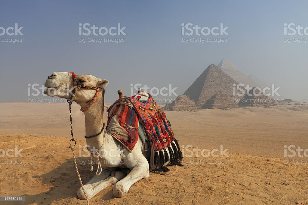 Camel in front of the pyramids royalty-free stock photo