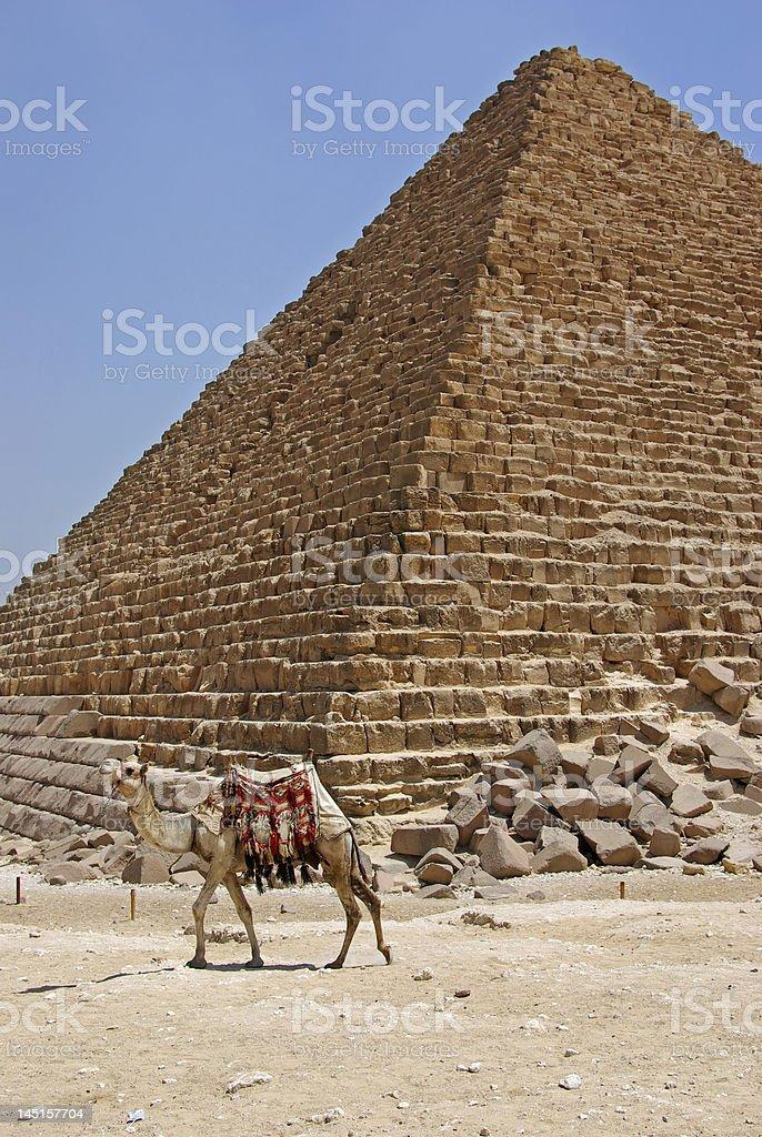 camel in giza stock photo