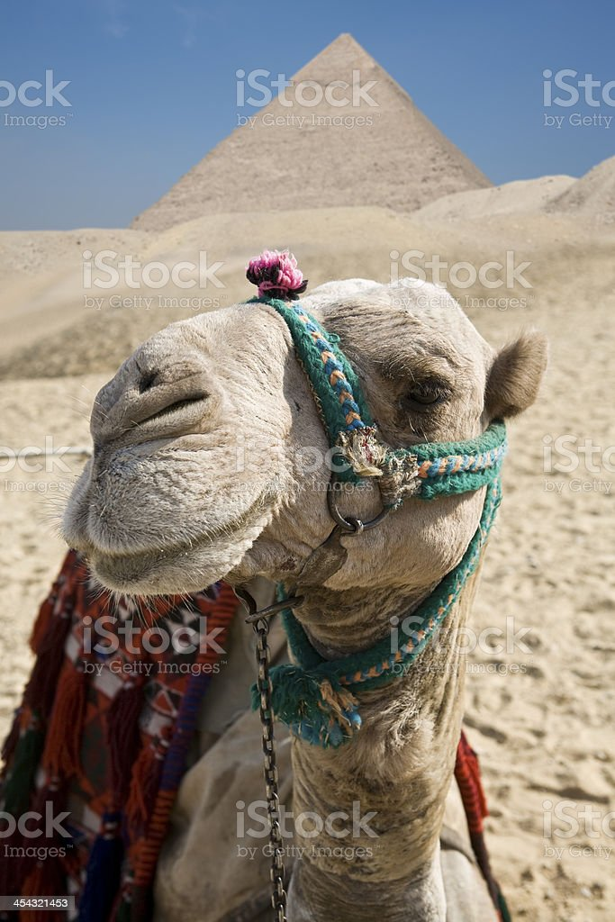 Camel in Giza royalty-free stock photo