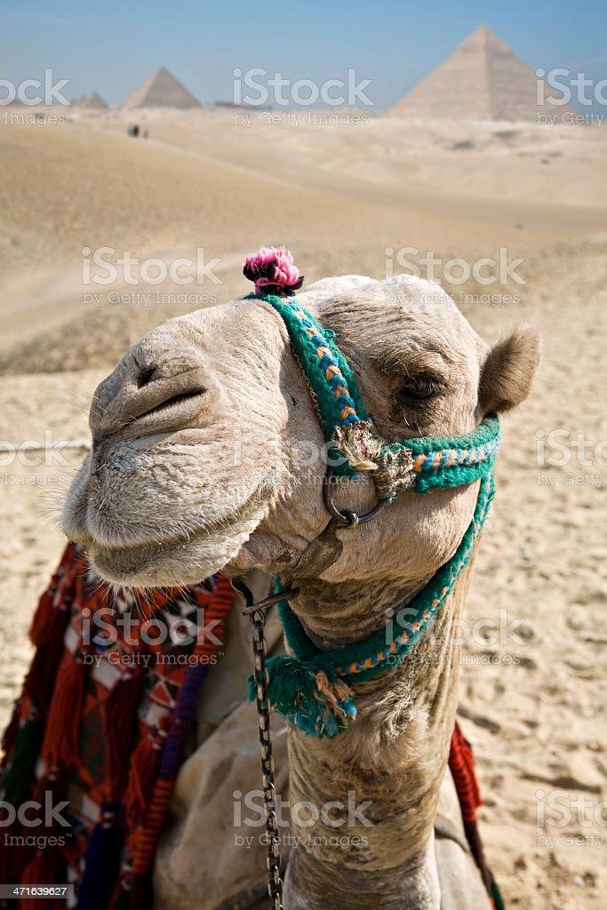 Camel in Giza royalty-free stock photo