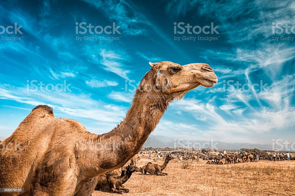 Camel  in India stock photo