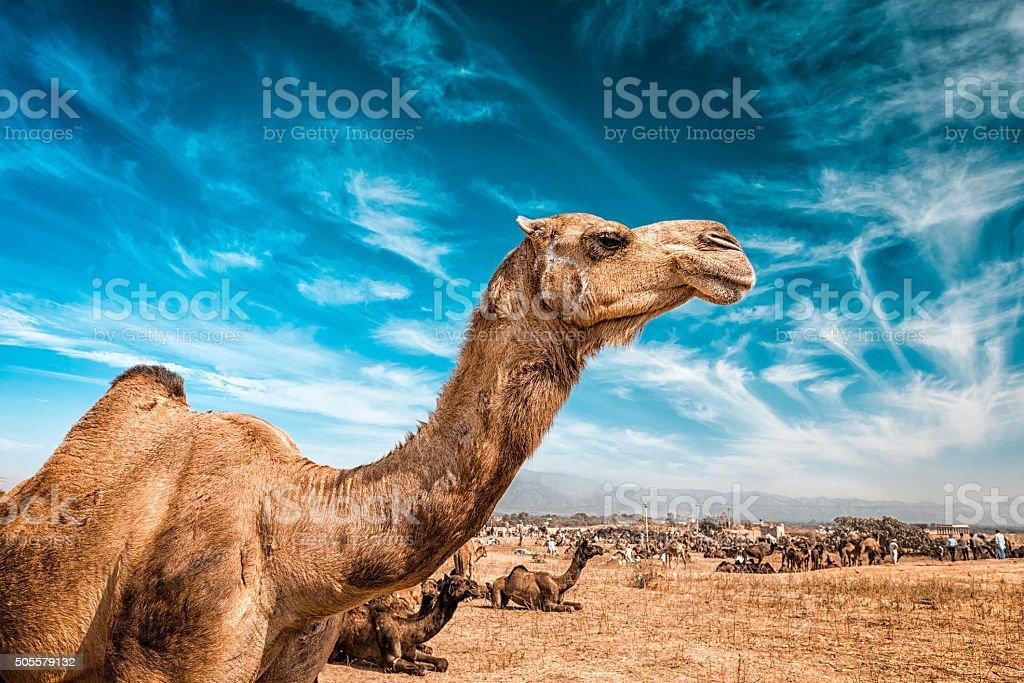 Camel  in India stock photo