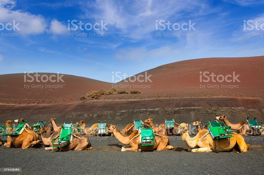 Camel in Lanzarote in timanfaya fire mountains stock photo