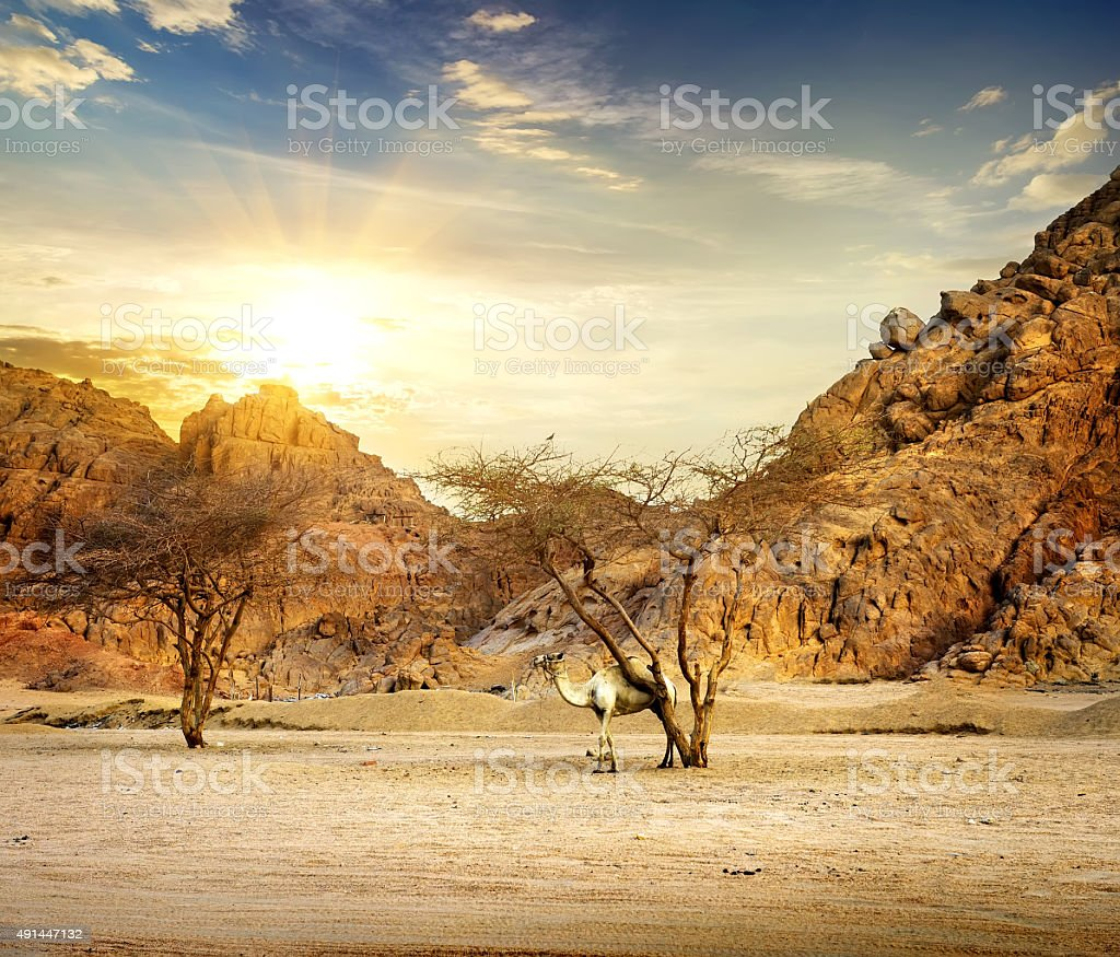 Camel in mountains stock photo