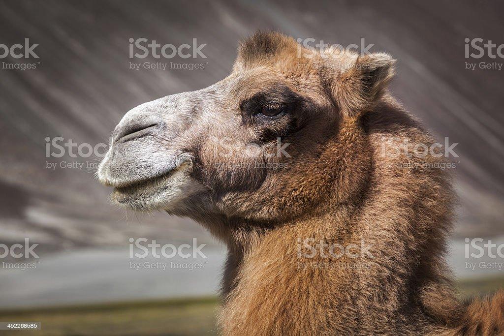 Camel in Nubra valley, Ladakh royalty-free stock photo