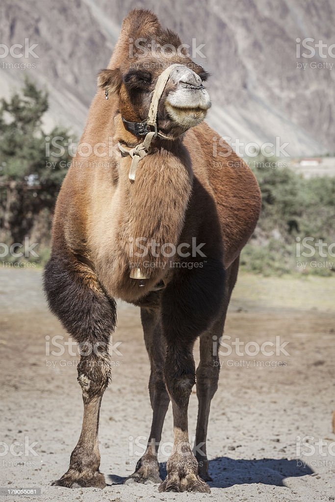 Camel in Nubra vally, Ladakh royalty-free stock photo