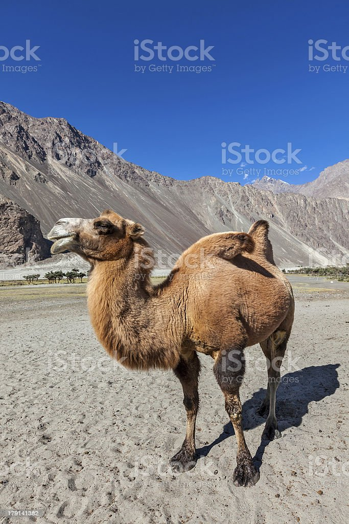 Camel in Nubra vally, Ladakh stock photo