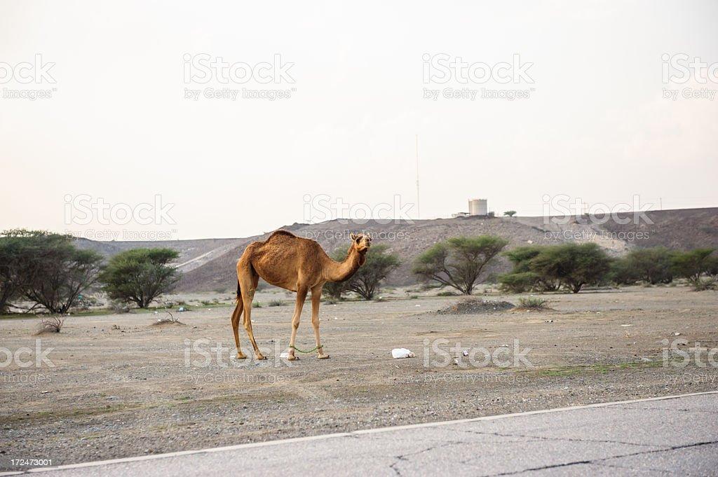 Camel in Oman stock photo