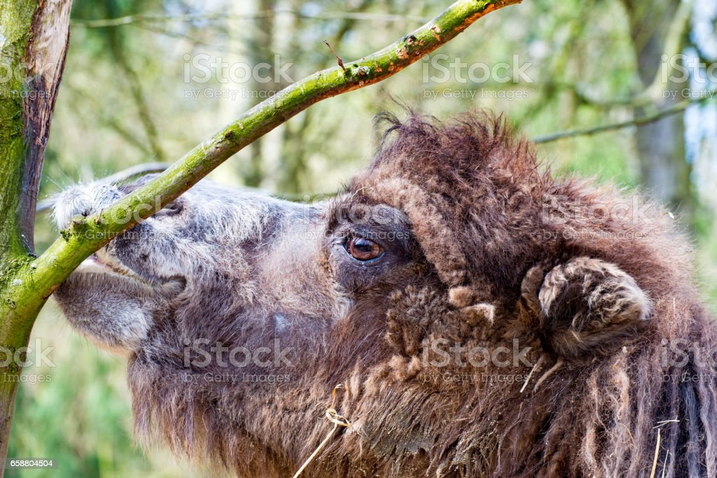 Camel in profile nibbling the bark of a tree stock photo