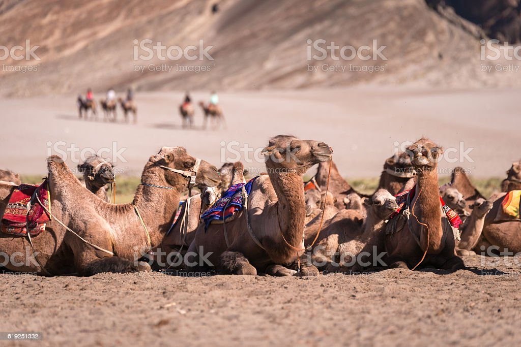 Camel in safari stock photo
