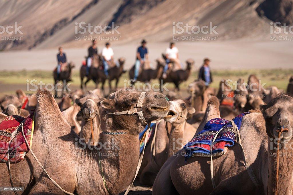 Camel in safari stock photo