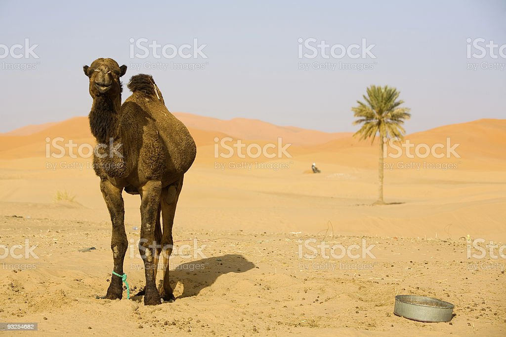 Camel in Sahara stock photo