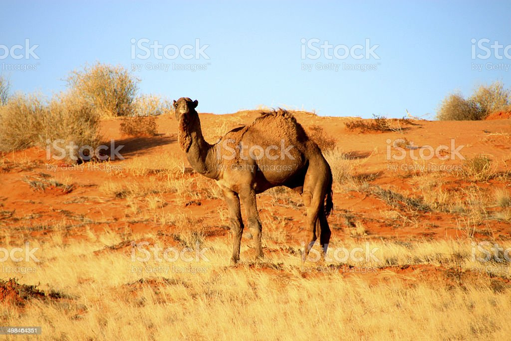 Camel in Simpson Desert, South Australia, Australia stock photo