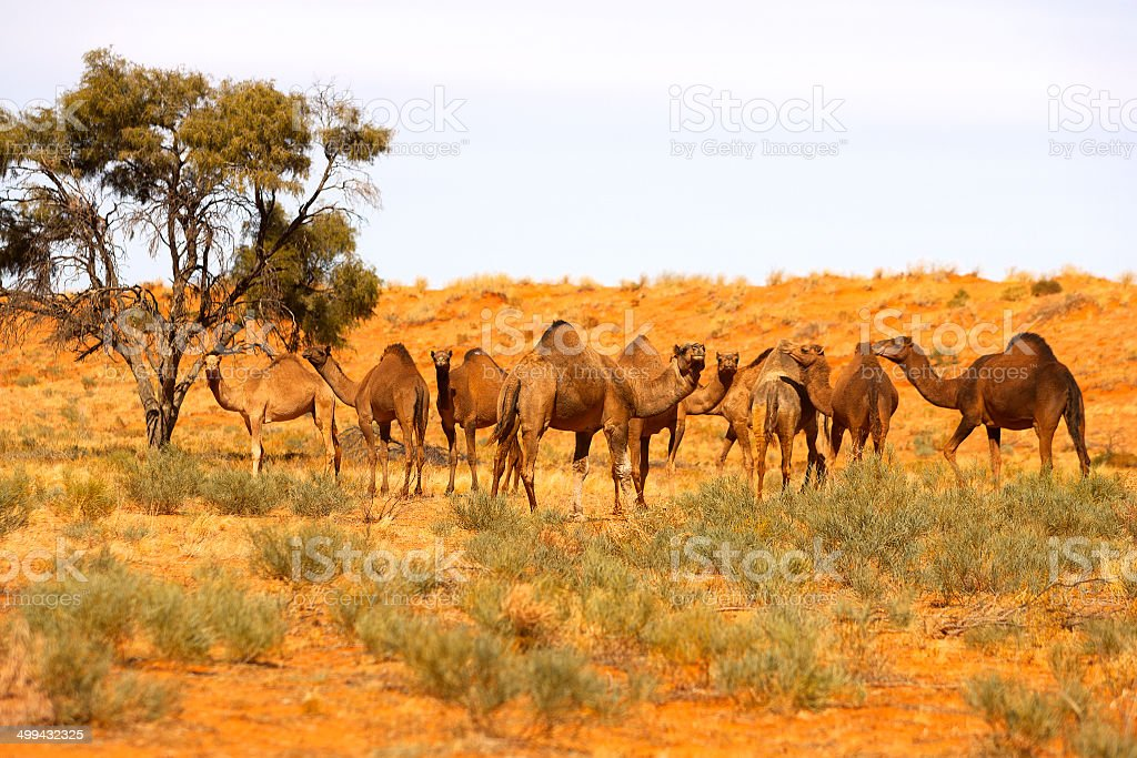 Camel in Simpson Desert, South Australia, Australia royalty-free stock photo