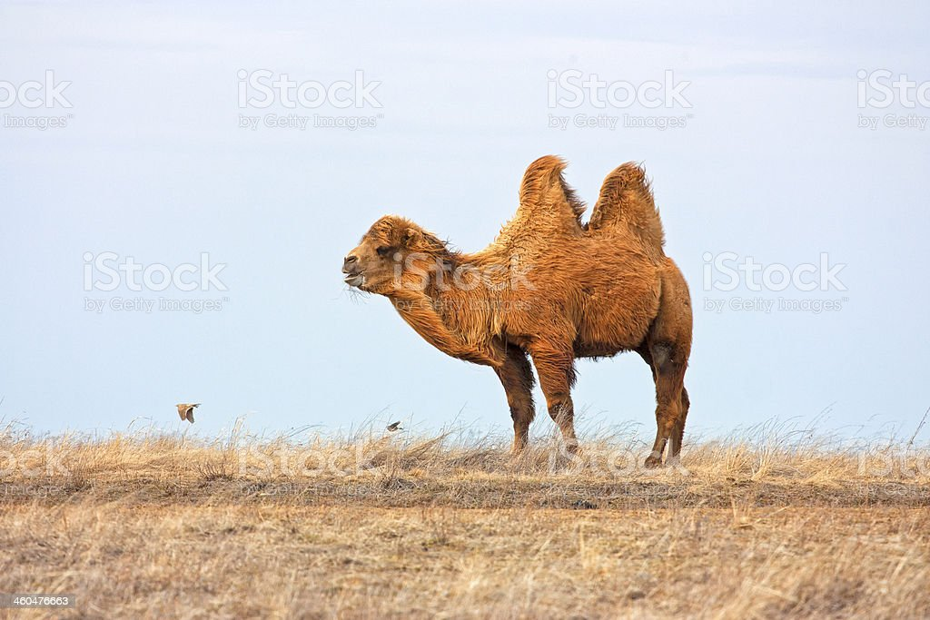 Camel in steppe. stock photo