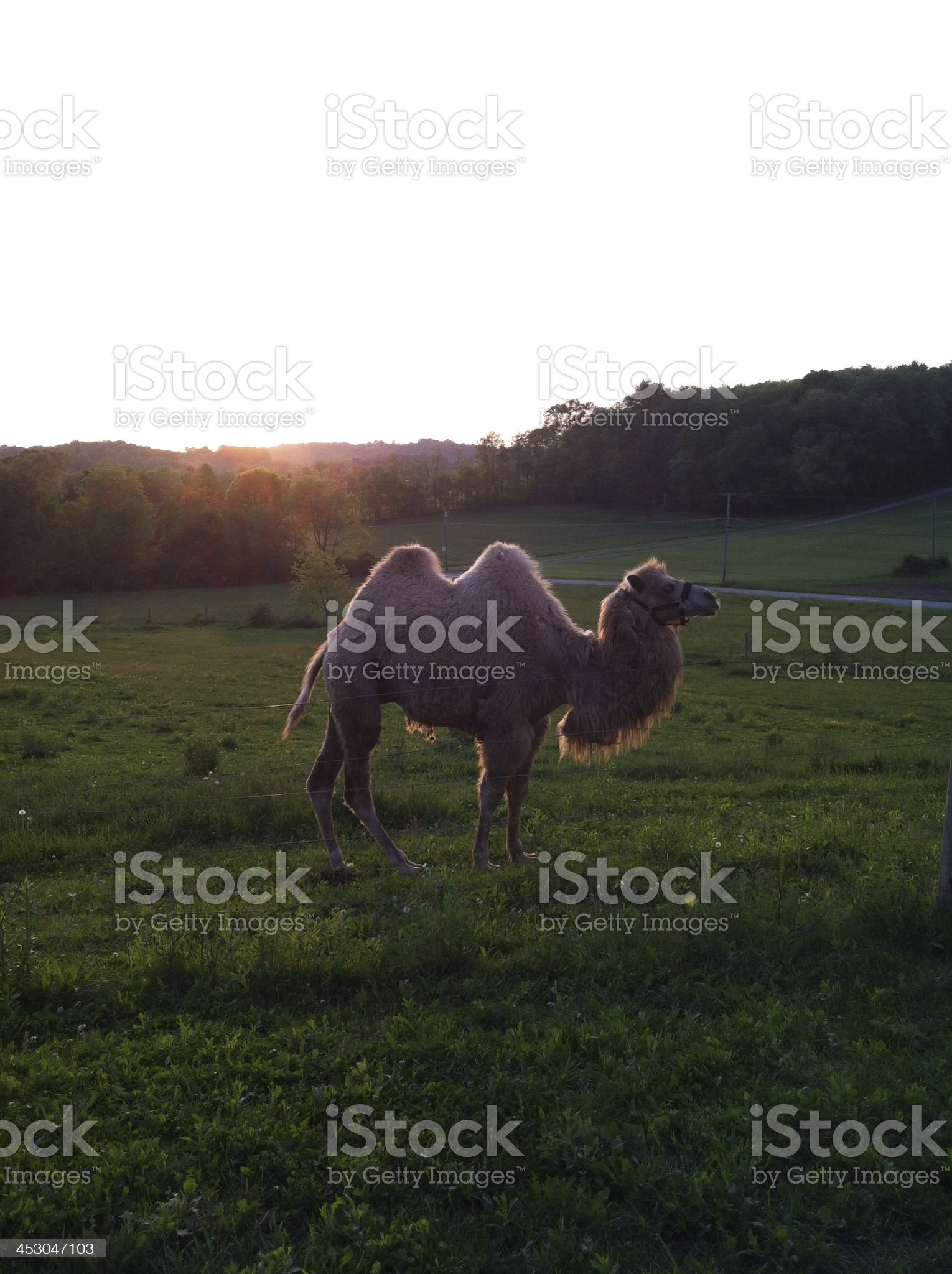 Camel in Sunset royalty-free stock photo