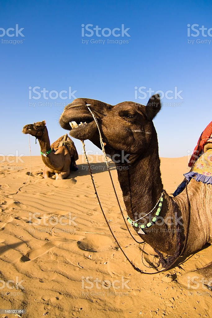 Camel in Thar desert royalty-free stock photo