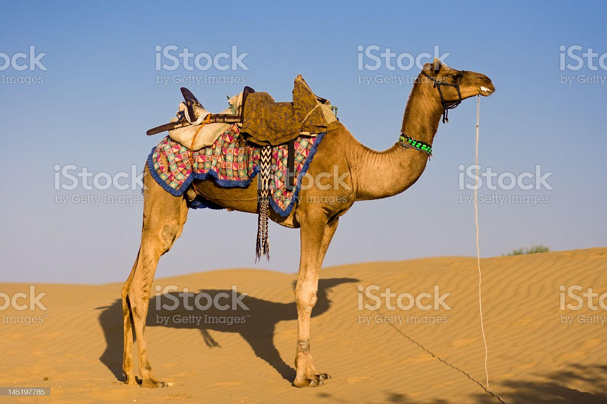 Camel in Thar desert royalty-free stock photo