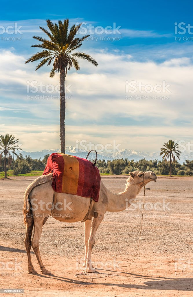 Camel in the constrating landscapes of Marrakech, Morocco stock photo