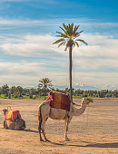 Camel in the constrating landscapes of Marrakech, Morocco