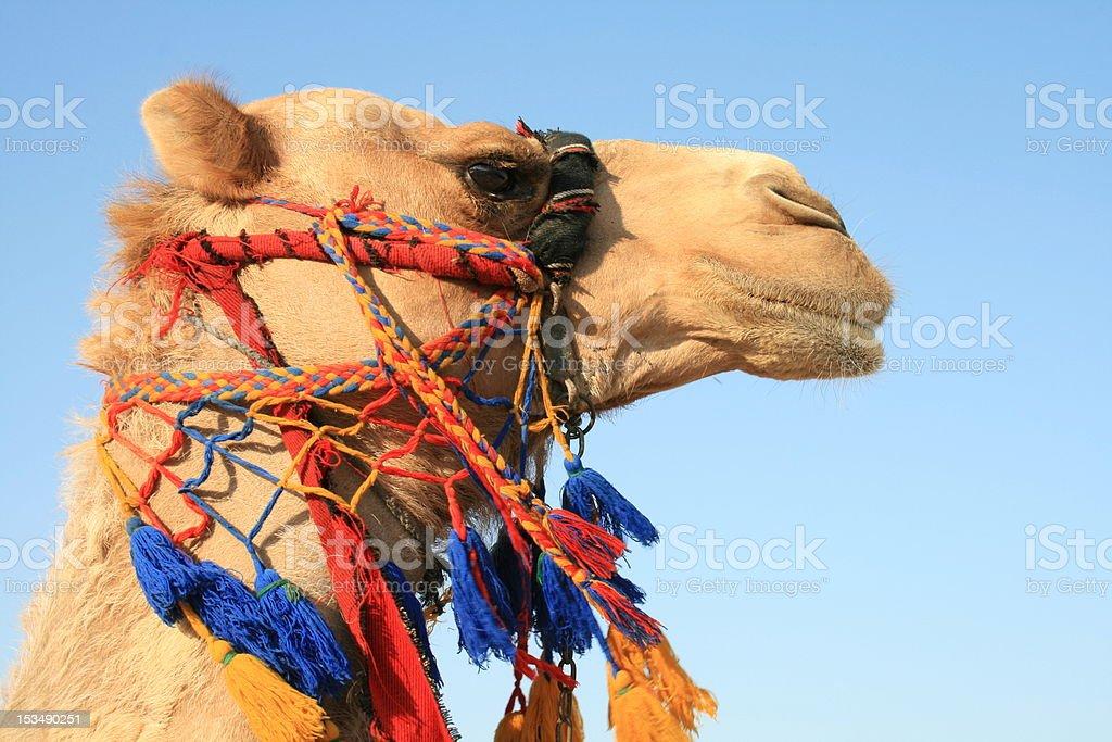 Camello en el mar muerto - foto de stock