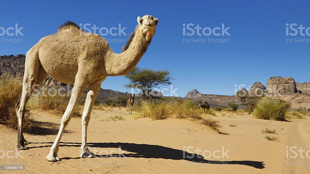 Camel in the Desert - Akakus (Acacus) Mountains, Sahara, Libya stock photo