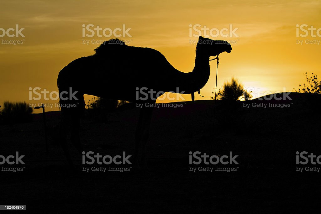 Camel in the desert at dawn royalty-free stock photo
