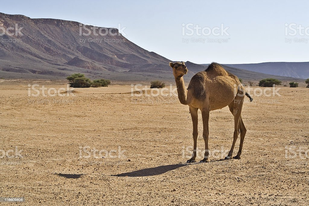 Camel in the Desert royalty-free stock photo