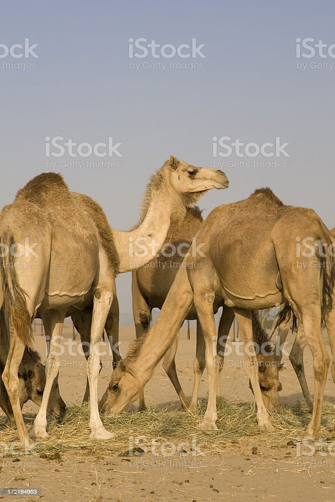 Camel in the desert (UAE) royalty-free stock photo