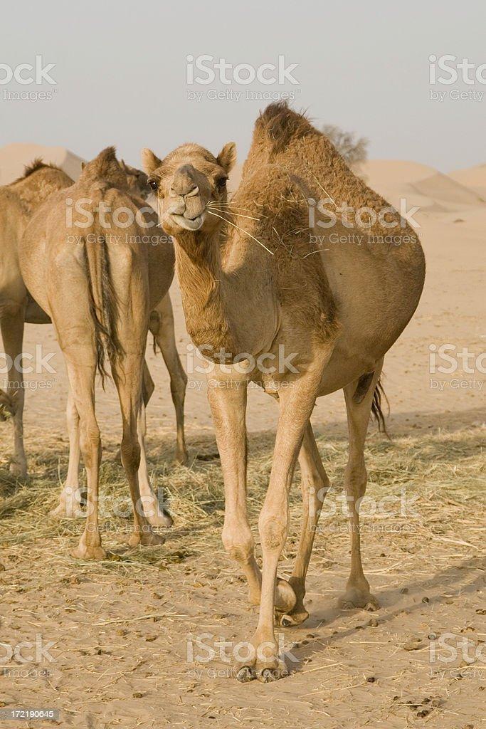 Camel in the desert (UAE) stock photo