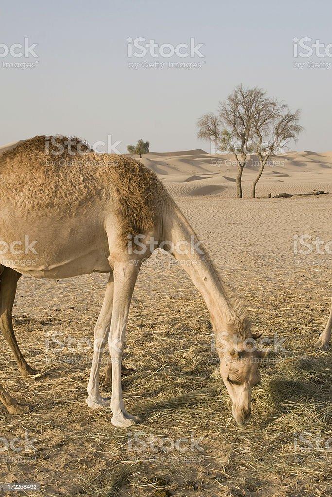 Camel in the desert (UAE) royalty-free stock photo