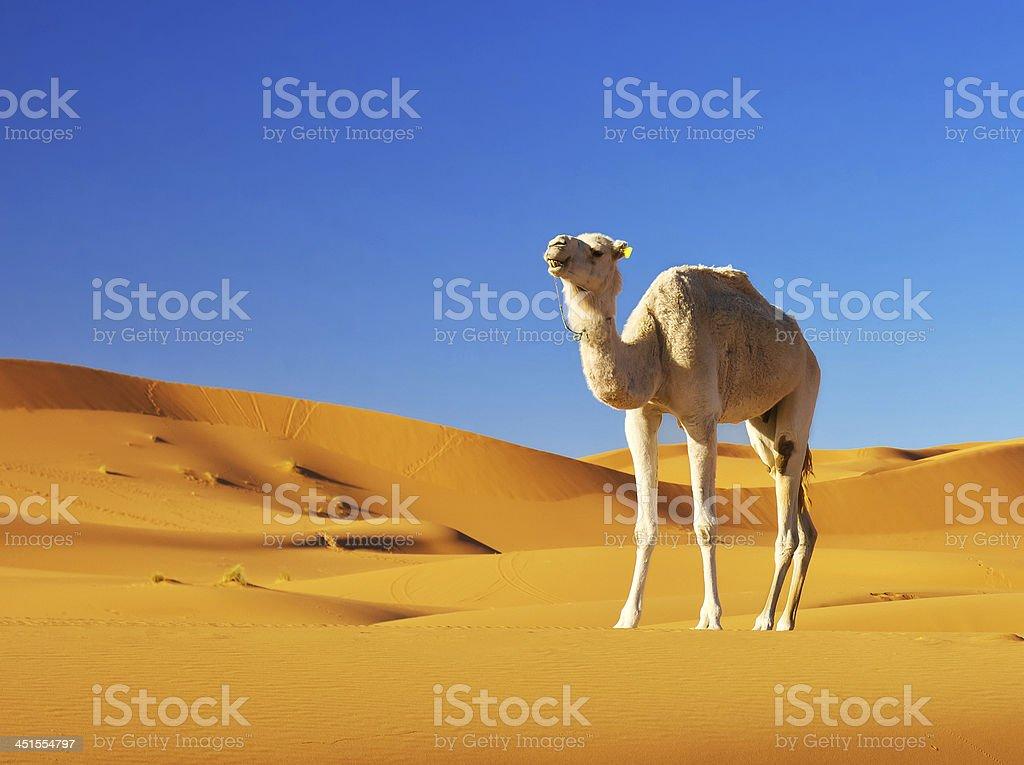 Camel in the desert stock photo