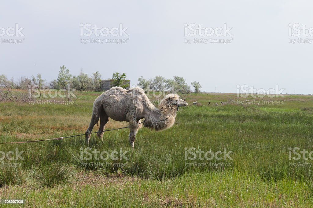 Camel in the field stock photo