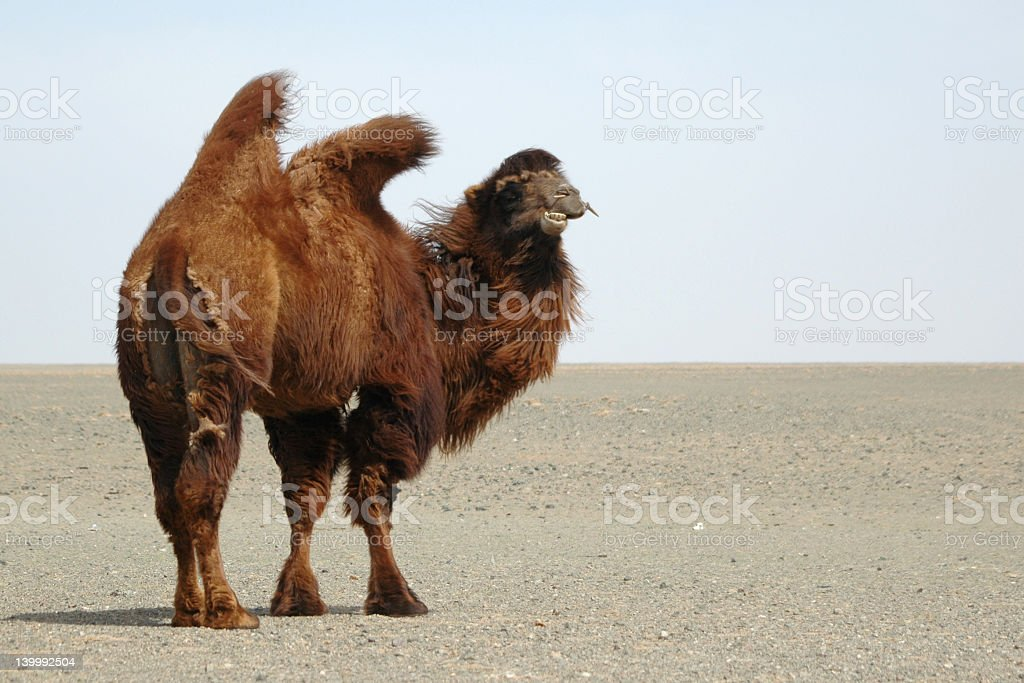 Camel in the Gobi desert royalty-free stock photo