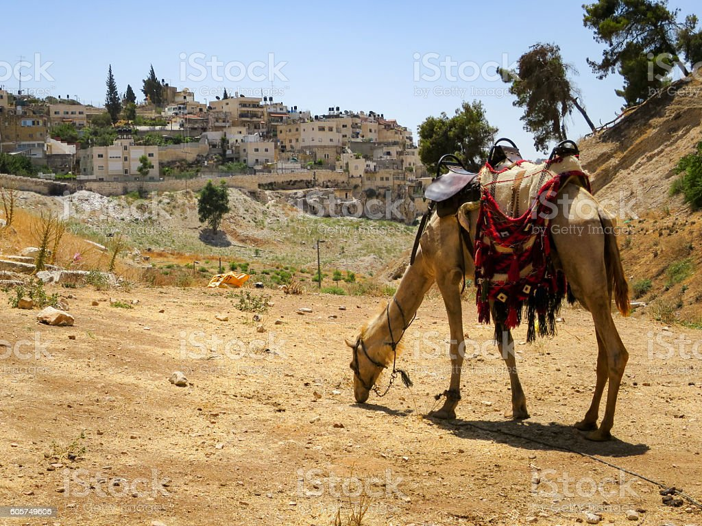 Camel in the Kidron Valley stock photo