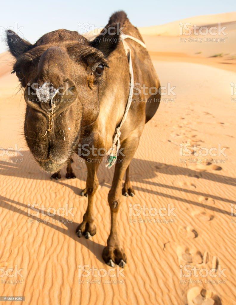 Camel in the Rub'al Khali Desert stock photo