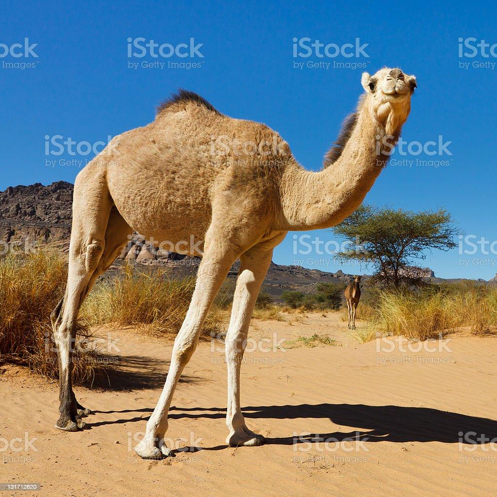 Camel in the Sahara Desert stock photo