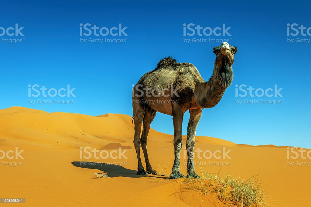 Camel in the Sahara  Erg Chebbi Morocco North Africa stock photo